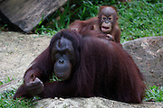 Singapore Zoo. Orang Utans. Mother with baby.
