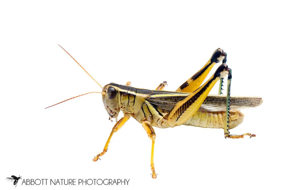 Two-Striped Grasshopper (Melanoplus bivittatus)<br /> TEXAS: Lamar Co.<br /> Camp Maxey National Guard<br /> Powderly  2.VIII.2014<br /> N33.78015 W95.53824 351 ft<br /> J.C. Abbott #2676 &amp; K.K. Abbott