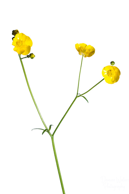 Meadow Buttercup in Meet Your Neighbours field studio