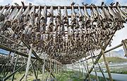 Cod fish dry on wooden racks in Reine, part of the Lofoten Islands, Norway.