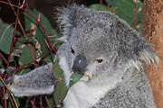 Koala eating eucalypt leaf, Australia