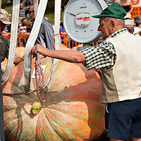 BRESCIA, ITALY - SEPTEMBER 12:  An official weigh one of the giant pumpkins during this year competition at Sale Marasino on September 12, 2010 in Brescia, Italy.  Cutrupi Stefano of Radda in Chianti, won  this year Italian National Competition with his pumpkin weighing  507 Kg.