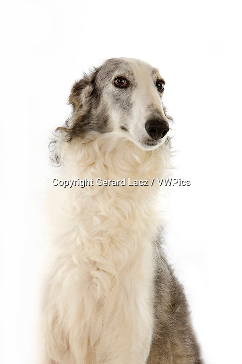 Borzoi or Russian Wolfhound, Portrait of Adult against White Background