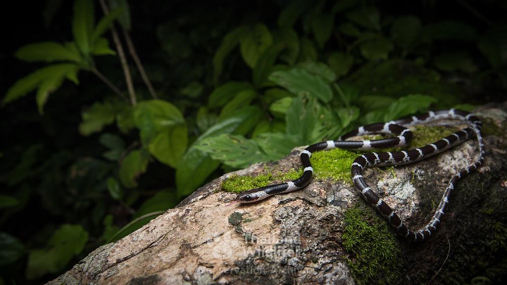 Davison's Bridle Snake (Lycodon davisonii) in Ranong, Thailand