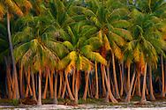Bosque de palmeras, Fakarava, Archipiélago Tuamotu, Polinesia Francesa