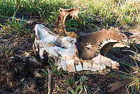 Remains of a poached White Rhino carcass killed by poachers, Phinda private Game Reserve, KwaZulu Natal, South Africa