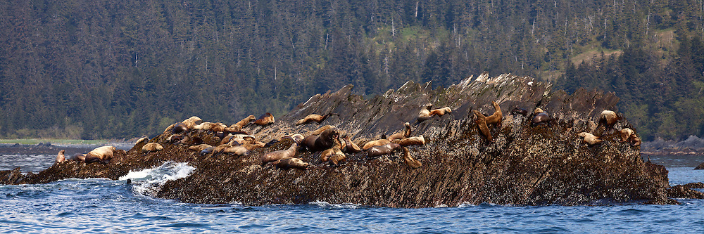 Several Sea Lions bark at each other as others look curiously on while they rest on a sunny outcropping at Procession Rocks, Prince William Sound, Alaska