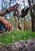 A duck being plucked at camp. Duck hunting season openning weekend on the Murray River near Howlong. Pic By Craig Sillitoe CSZ/The Sunday Age 22/3/2011 This photograph can be used for non commercial uses with attribution. Credit: Craig Sillitoe Photography / http://www.csillitoe.com<br />