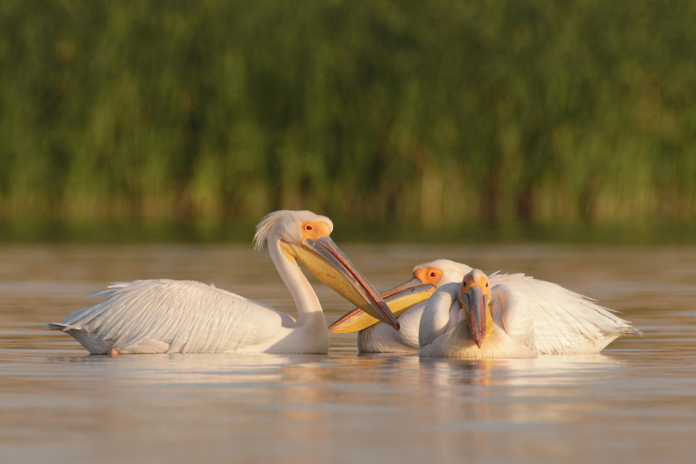 White Pelican (Pelecanus onocrotalus) in the Danube Delta, Romania. May 2009 <br /> Mission: Danube Delta