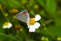 Gray hairstreak in the Celery Fields of Sarasota County, Florida. This is an AMAZING place to search for butterflies ... they are everywhere in every shape, size, and color!
