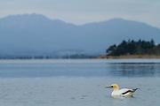 An Australasian Gannet floats on Golden Bay on a calm morning, near Puponga Point, New Zealand.