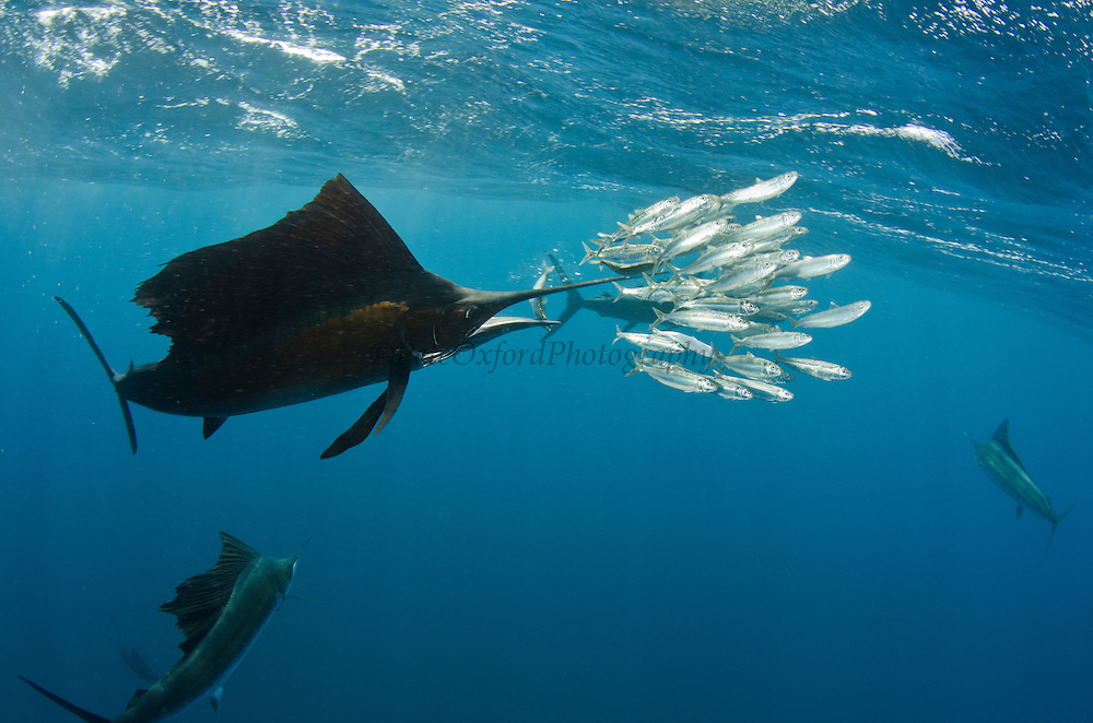 Atlantic sailfish feeding for How many fish are in the ocean