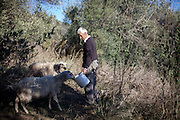 Pandalis Theodorakis feeding sheep on his property in Maza, a mountain village located close to Palaiochora which is a small town in Chania regional unit on the island of Crete, Greece.