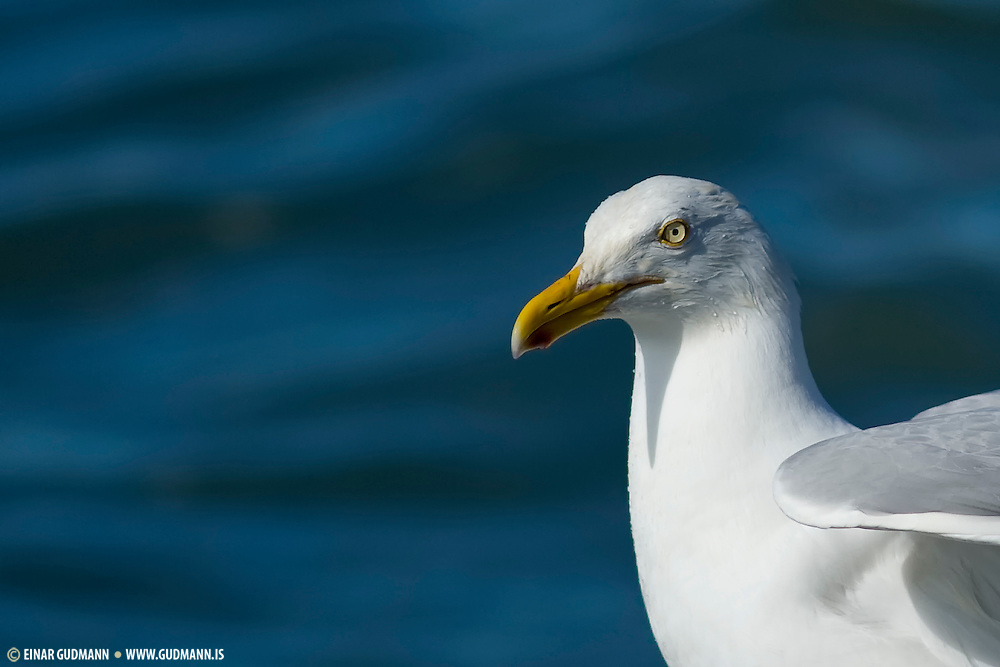 These are omnivores like most Larus gulls, and they will eat fish, insects, molluscs, starfish, offal, scraps, eggs, small birds, small mammals and carrion as well as seeds, berries and grain.