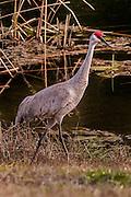 """""""Florida Sandhill Crane"""""""