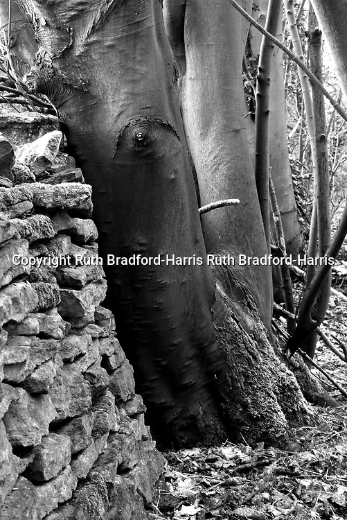 Amazingly smooth trunks of native Beech trees (Fagus sylvatica) in an ancient hedgerow against a dry stone wall in Lincolnshire.<br />