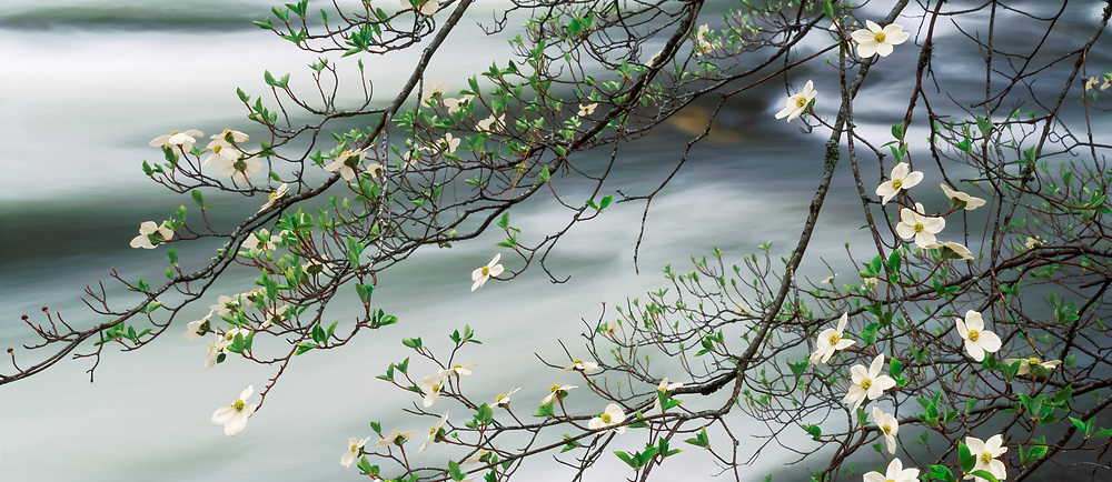 Dogwood in bloom and the Merced River, Yosemite National Park, California 1994