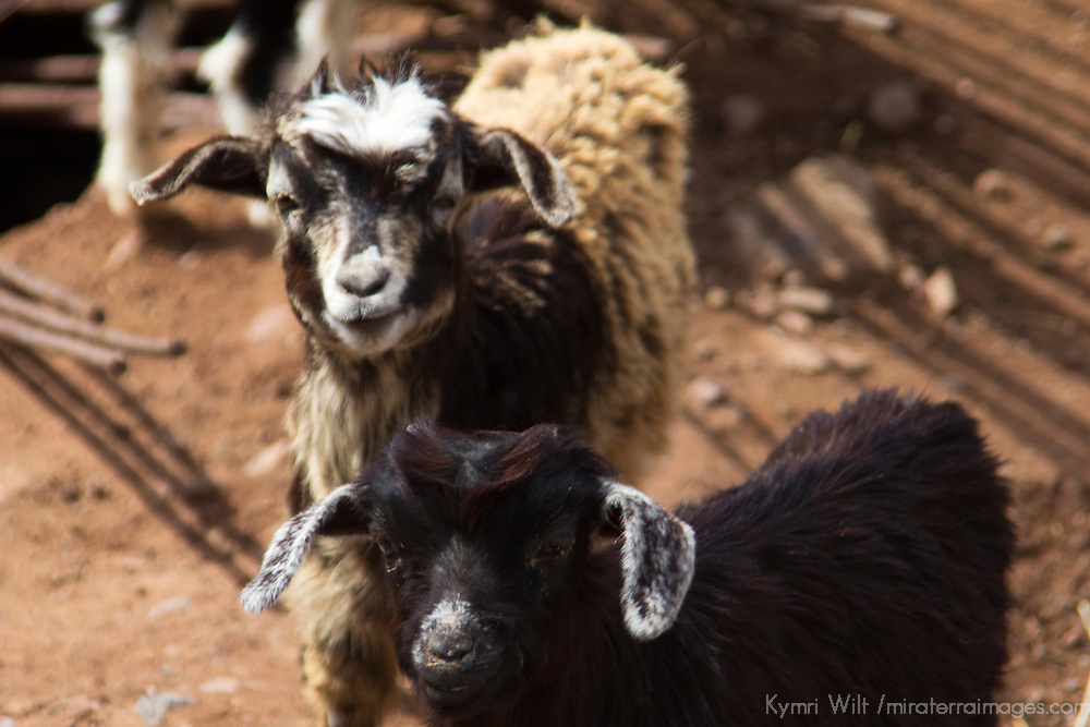 Africa, Morocco, Imlil. Goats of Berber Village in the Atlas Mountains.