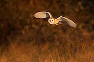 Barn Owl (Tyto alba) adult hunting at dusk, Norfolk, UK.