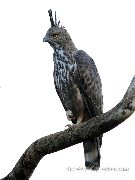 Changeable Hawk-Eagle, (Crested Hawk-Eagle), Nisaetus cirrhatus, Yala, Sri Lanka, by Jonathan Rossouw