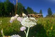 Hain-Schwebfliege, Gemeine Winterschwebfliege, (Episyrphus balteatus)<br />  Blütenbesuch