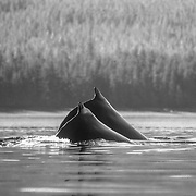 """Humpback whales arch their backs very prominently before sounding, hence the name """"humpback""""."""