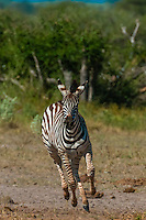 Zebra on the run, Nxai Pan Naional Park, Botswana.