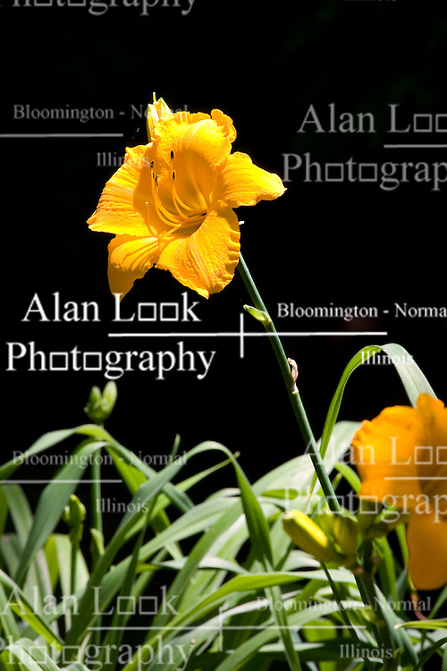 10 Jul 2011:  Lily bloom