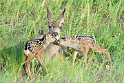 Newly born mule deer fawns (Odocoileus hemionus) sniff each other while under the watchful gaze of their mother, Montana