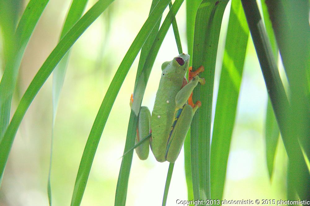 red spotted tree frog @ Jaguar Rescue Center