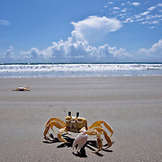 Crab cruises the sands of Cocoa Beach.  <br />