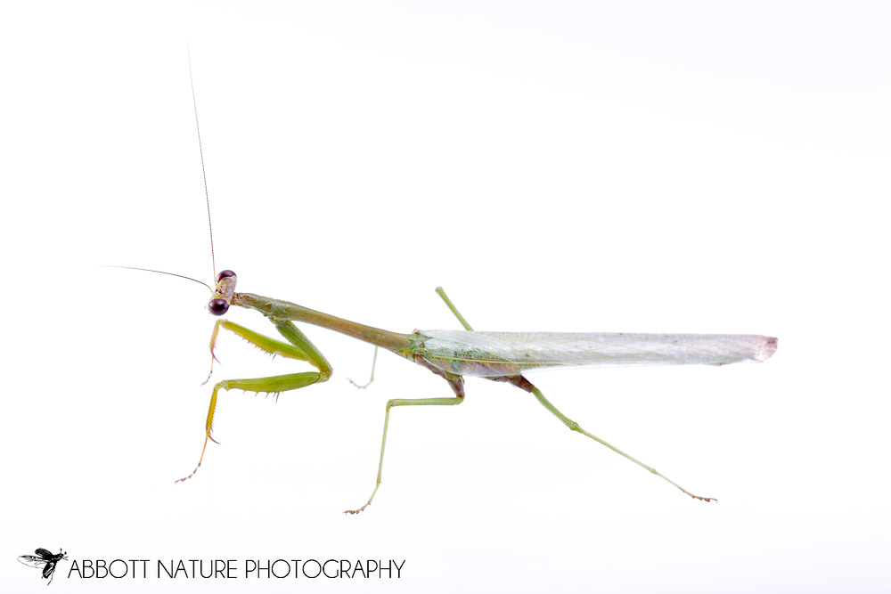 Praying Mantis (Stagmomantis sp.)<br /> BELIZE: Cayo District <br /> Ian Anderson's Caves Branch Lodge near Armenia<br /> 7-Sep-2014<br /> J.C. Abbott &amp; K.K. Abbott