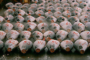 A buyer checks fish with numbers painted on them ready for the pre-dawn auction at the Tsukiji wholesale fish market in Tokyo, Japan.