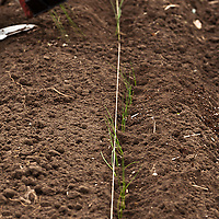 Transplanting onion seedlings into the compost-rich soil of a garden bed in a vegetable kitchen garden.