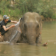 Laos Asian Elephants