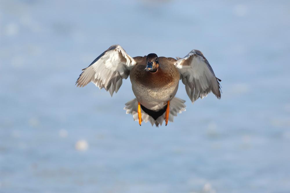Brewer's Duck, Mallard x Gadwall, Anas platyrhynchos x Anas strepera, hybrid, Detroit River, Ontario, Canada