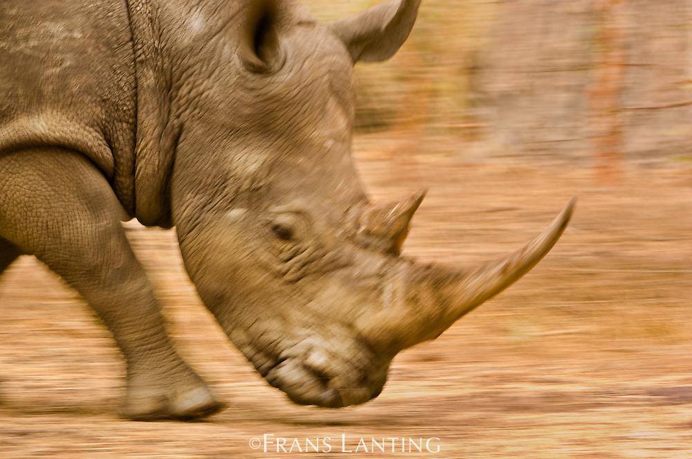 White rhino running, Ceratotherium simum, Bandia Reserve, Senegal