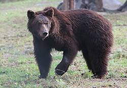 Rescued  - Masha the brown bear. <br /> Masha the brown bear takes her first steps of freedom at the Four Paws sanctuary 100 miles from Kiev in the Ukraine after being rescued from a group of mafia who ran a bear baiting, Ukraine, Monday, 2nd September 2013. Picture by Roger Allen / i-Images