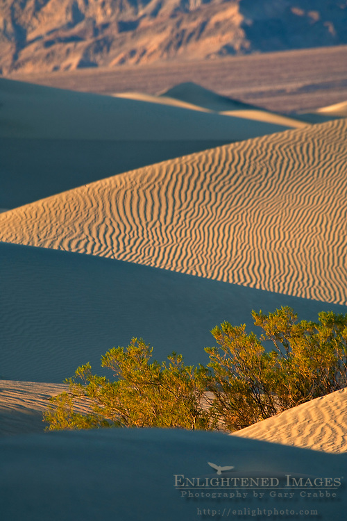 Bush in the Mesquite Sand Dunes, near Stovepipe Wells, Death Valley National Park, California
