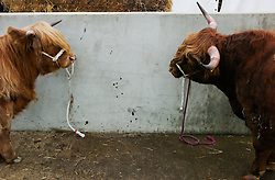 © Licensed to London News Pictures.16/07/15<br /> Harrogate, UK. <br /> <br /> Two Highland cattle are tethered to a wall on the final day of the Great Yorkshire Show.  <br /> <br /> England's premier agricultural show has seen three days of showcasing the best in British farming and celebrating the countryside.<br /> <br /> The event which attracts over 130,000 visitors each year displays the cream of the country's livestock and offers numerous displays and events giving the chance for visitors to see many different countryside activities.<br /> <br /> Photo credit : Ian Forsyth/LNP