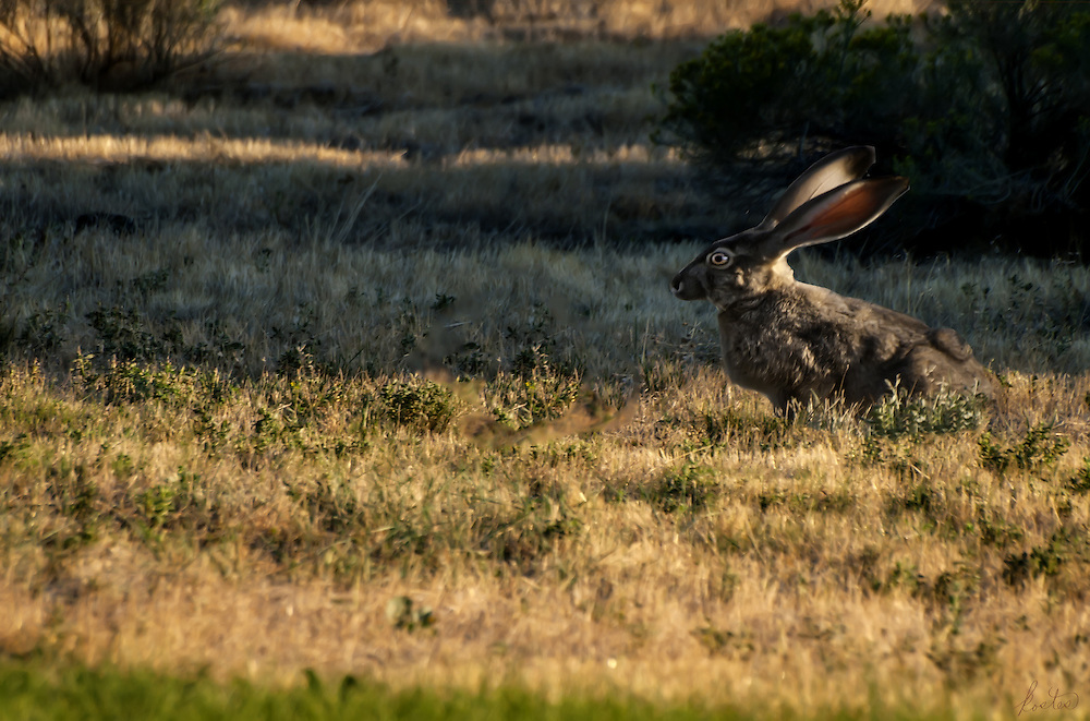 A western Jackrabbit at suppertime as the sun sets, throwing long shaddows