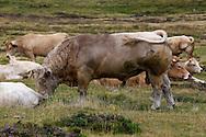 23/08/13 - MONT LOZERE - LOZERE - FRANCE - Taureau croise Charolais Aubrac pour la monte naturelle - Photo Jerome CHABANNE