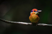 Oriental Dwarf-kingfisher (Ceyx erithaca) perched on branch. Kaeng Krachan National Park. Thailand.