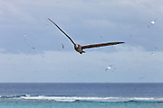 Black Footed Albatross in flight, Midway Atoll