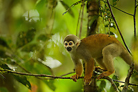 Squirrel Monkey (Saimiri sciureus) along the Lago trail at the Tiputini Biodiversity Station, Orellana Province, Ecuador