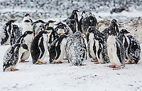 Baby Gentoo Penguins (Pygoscelis papua) at Brown Bluff huddle together in groups known as Creches.  Brown Bluff, Antarctic Peninsula