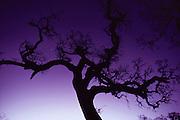 Valley oak tree at dawn, Napa, California.