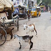 Goats mark an entryway into a slum in Chennai, India.
