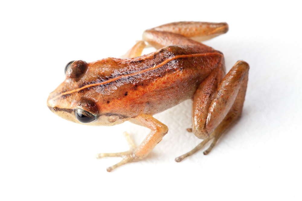 Mozart's Land Frog, Eleutherodactylus amadeus, a critically endangered species on the Massif de la Hotte, Haiti. Last seen 1991.