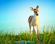 Young Deer Fawn at Fire Island, Kismet, New York
